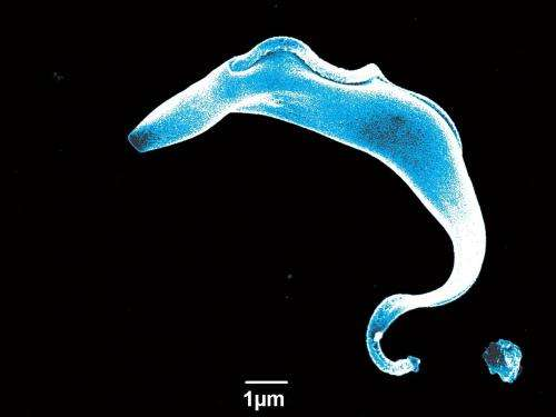 Silencing signals sent by parasite could aid sleeping sickness fight