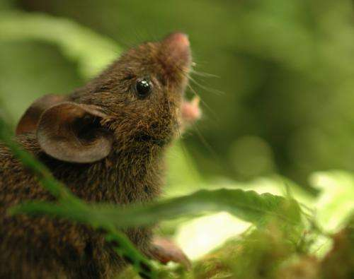 Singing mice protect their turf with high-pitched tunes