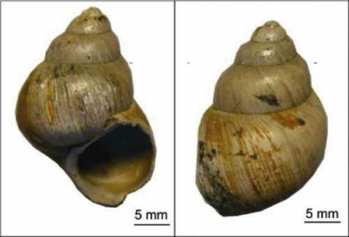 Snail tale: Fossil shells and new geochemical technique provide clues to ancient climate cooling