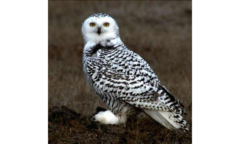 Night Owls May Face Special Challenges >> Scientists Explain How Owl Can Rotate Its Head Without Cutting Off Blood