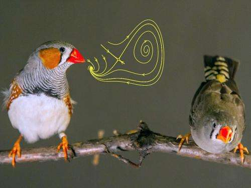 Songbirds' brains coordinate singing with intricate timing, study reports
