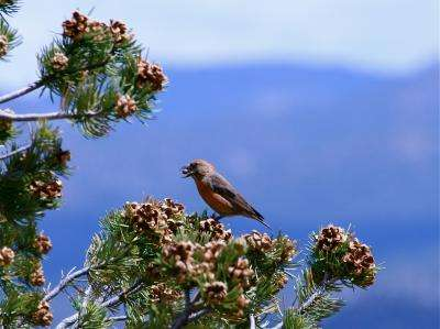Southwest regional warming likely cause of pinyon pine cone decline, says CU study