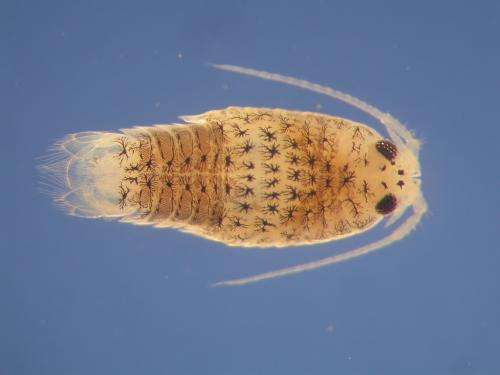 Second body clock discovered in the speckled sea louse