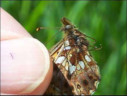 Standardized methods for the GMO monitoring of butterflies and moths: The whys and hows