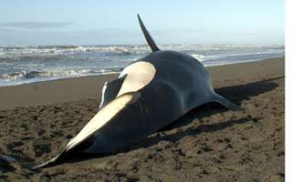 Stranded orcas hold critical clues for scientists