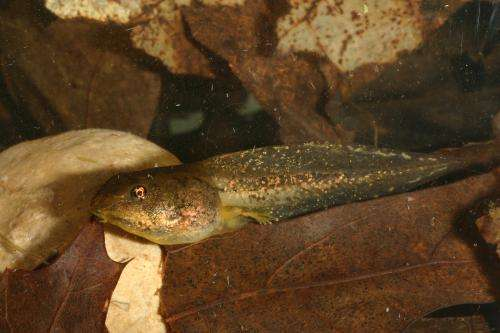 Stressed-out tadpoles grow larger tails to escape predators