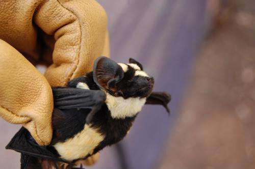 Striped like a badger -- new genus of bat identified in South Sudan