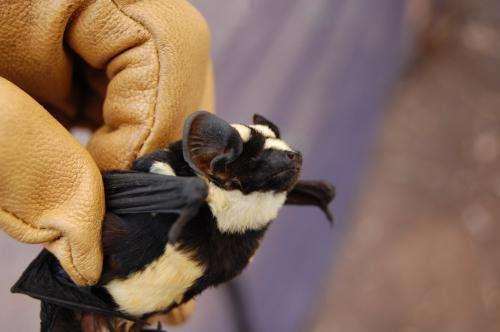 Striped like a badger -- new genus of bat identified in South Sudan