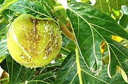 Studies confirm breadfruit's ability to repel insects
