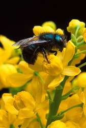 Studies Find Wild Bees and Insects Essential to Food Security