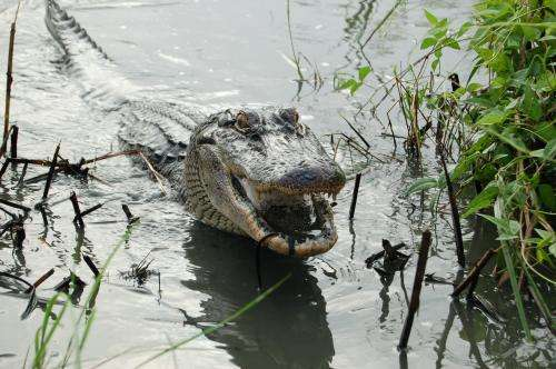 Study: Crocs eat fruit??