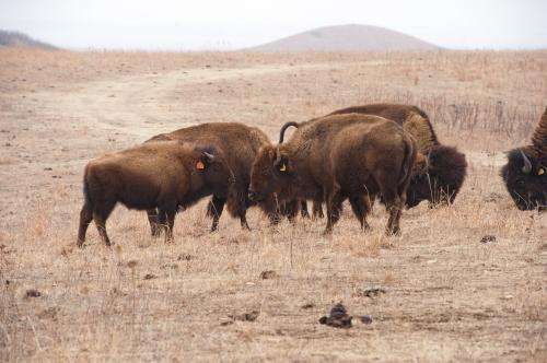 Study finds climate change to shrink bison, profit