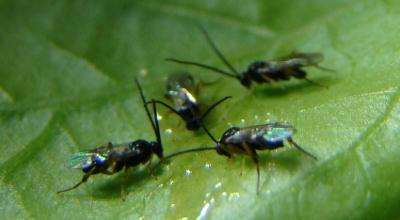 Study Sheds Light on Production of Parasitic Wasp's Courtship Song