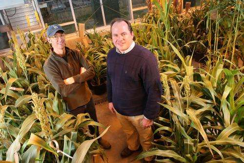 Study: Sorghum wards off pests by releasing hydrogen cyanide