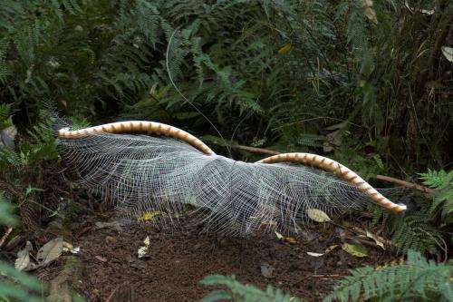 Superb lyrebirds move to the music