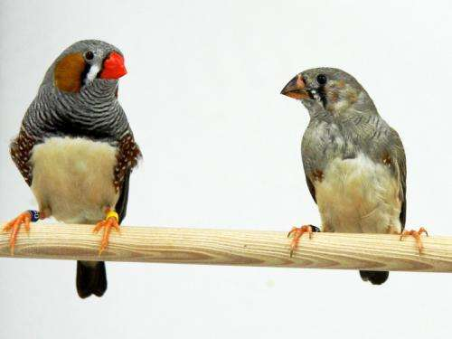 Super song learners: Researchers uncover a mechanism for improving song learning in juvenile zebra finches