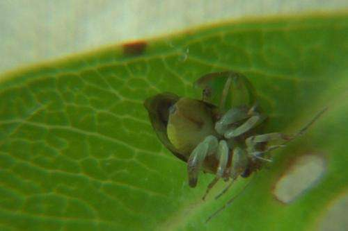Switching sexes and rearranging genitals: Tahitian bugs reveal unusual habits