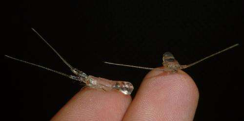 'Tailing' spiny lobster larvae to protect them