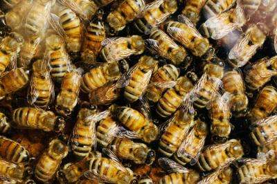 Team finds substances in honey that increase honey bee detox gene expression