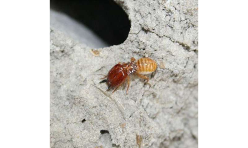 Female termites found to clone themselves via asexual reproduction