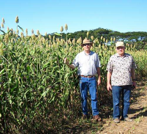 Texas A&M breeder develops new sorghum variety for Central America