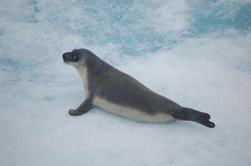 The bacterium Brucella pinnipedialis has little effect on health of hooded seal