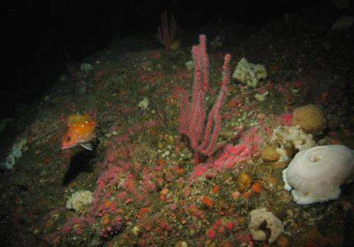 The jewels of the ocean: 2 new species and a new genus of octocorals from the Pacific