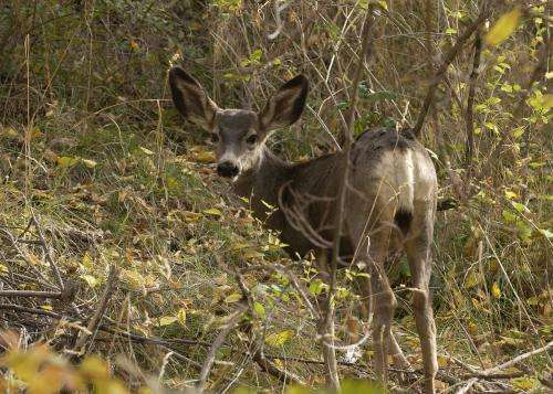 The maternal effect: How mother deer protect their future kings