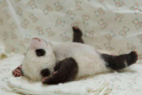 The newborn panda cub Yuan Zai plays at Taipei City Zoo, on August 11, 2013
