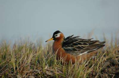 The rhythm of the Arctic summer: Diverse activity patterns of birds during the Arctic breeding season