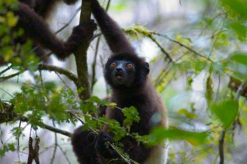 The safer sex? For a little-known primate, a new understanding of why females outlive males