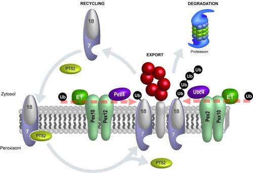 The yin and yang in the life of proteins