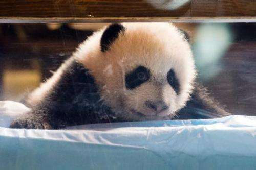 Three month old giant panda Xing Bao looks out from its crib during a presentation to the press at Madrid's Zoo on December 5, 2