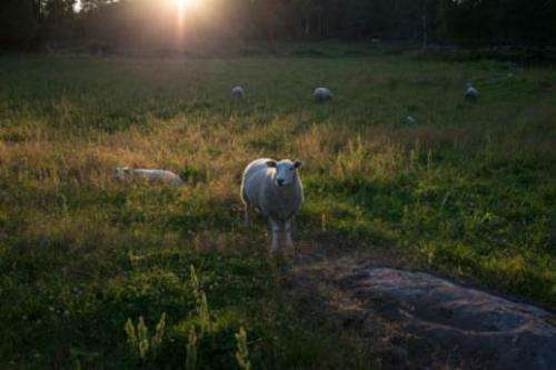 Ticks kill sheep