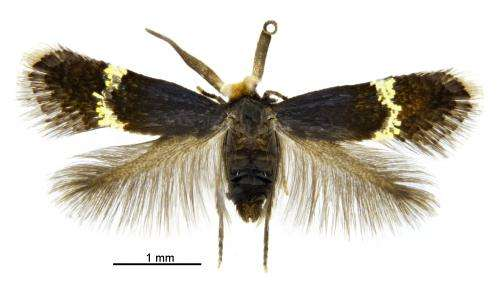 Tiny minotaurs and mini-Casanovas: Ancient pigmy moths reveal secrets of their diversity