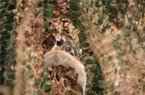 Together alone: Sportive lemurs stay individualists in relationships