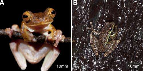 Torrent frog has advantage attaching to rough, wet surfaces
