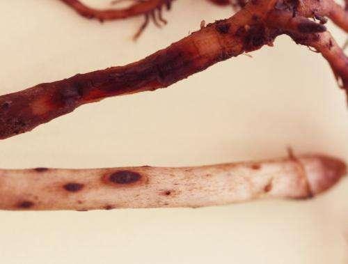 Toxic substances in banana plants kill root pests