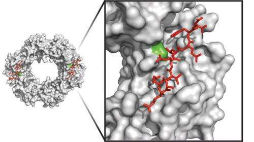 Toxin produced by bacteria could serve as a model for next-generation antibiotics