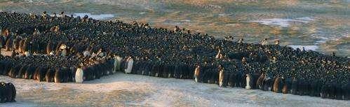 Traffic jams lend insight into emperor penguin huddle