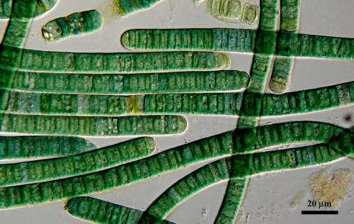 Tricking algae's biological clock boosts production of drugs, biofuels