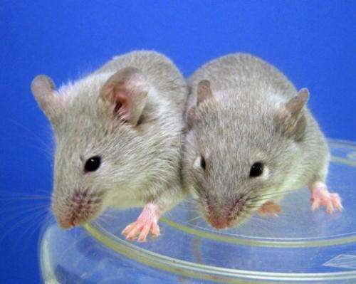 Two mice are seen at a lab of Kyoto University, on October 5, 2012