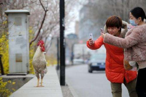 Two women take photos of a cockerel in Beijing on April 4, 2013