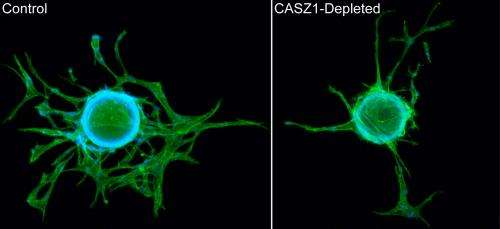 UNC research uncovers molecular role of gene linked to blood vessel formation