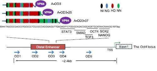 Unique route to stem cells: Designer proteins developed to deliver stem cells
