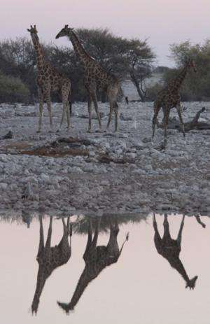 UQ examines the social networks of wild giraffes