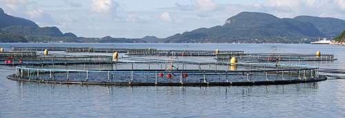 Using salmon genome to adapt fish to warmer water