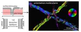 3D mapping of lipid orientation in biological tissues such as skin