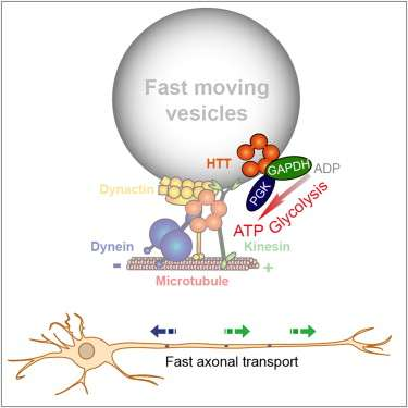 Vesicle-attached ATP generator, not mitochondria, powers axonal transport