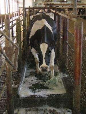 Vet med scientists find better, safer treatments for hoof disease in cattle